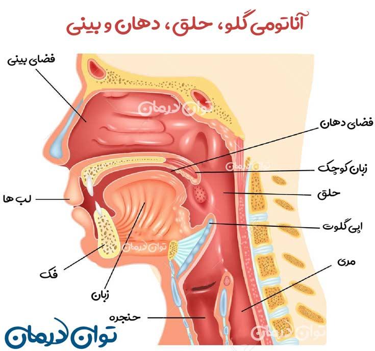 آناتومی گلو، حلق، دهان و بینی